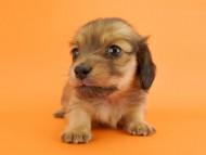 ウズメ & クッキーの子犬 イエロー 女の子
