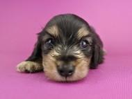 オーシャン & ナイトの子犬 ブラックイエロー 男の子
