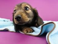ララ & ジャンクレールダンディの子犬 レディッシュイエロー 男の子