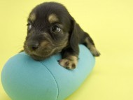 スワン & ジムダンディの子犬 ブラックイエロー(ブラッククリーム) 男の子