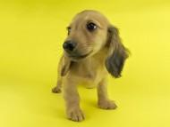 シエラ & たけるの子犬 レディッシュイエロー 女の子