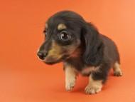オーシャン & ナイトの子犬 ブラックイエロー 女の子