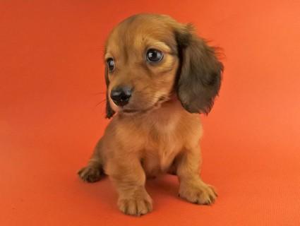 ダックスフンド スワン & ジムダンディの子犬 レッド 男の子