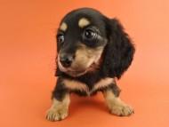 スワン & ジムダンディの子犬 ブラックタン 女の子