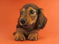オーロラ & たけるの子犬 レッド 男の子(2)