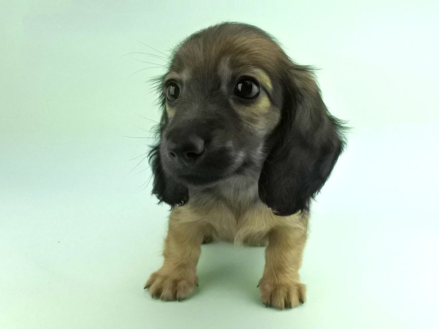 カニンヘンダックス リン2 & ジムダンディの子犬 イエロー(クリーム) 女の子