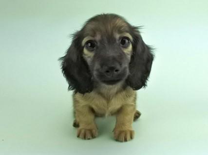 ダックスフンド リン2の子犬 イエロー(クリーム) 女の子