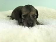 パン2 & オスカルの子犬 イエロー(クリーム) 女の子(1) お写真初登場