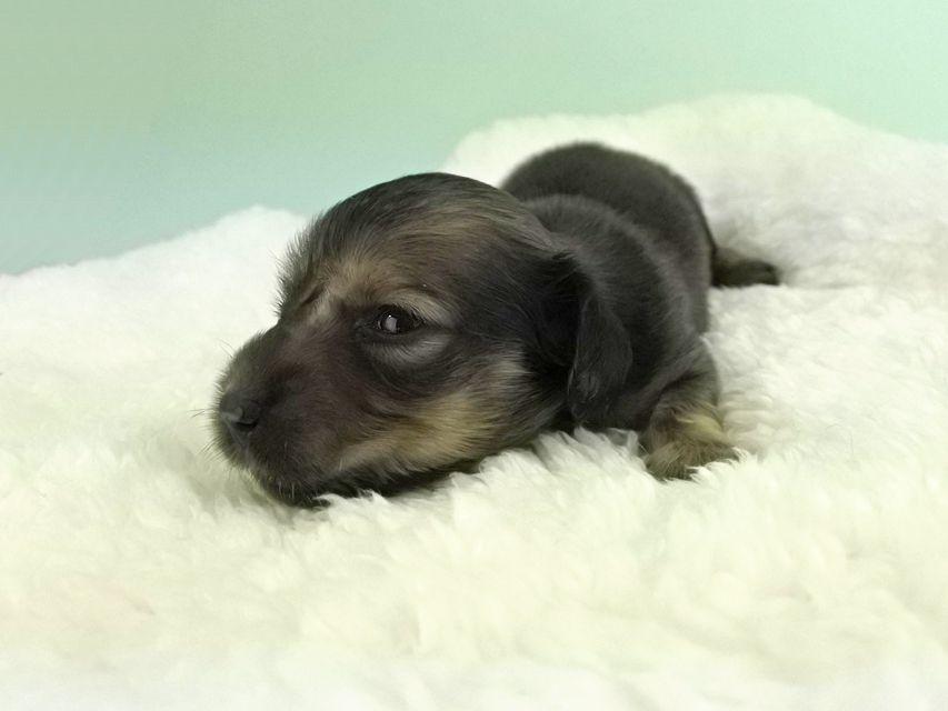 カニンヘンダックス パン2 & オスカルの子犬 イエロー(クリーム) 女の子(1) お写真初登場