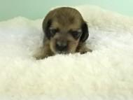 パン2 & オスカルの子犬 イエロー(クリーム) 女の子(2) お写真初登場