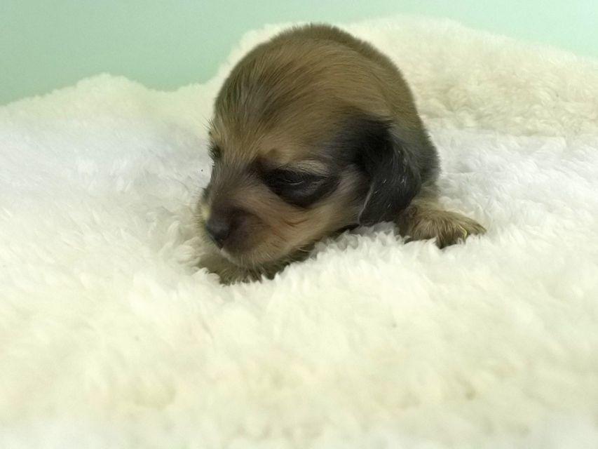 カニンヘンダックス パン2 & オスカルの子犬 イエロー(クリーム) 女の子(2) お写真初登場