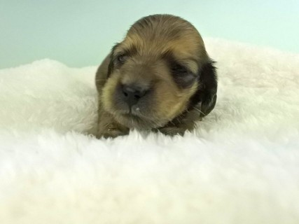 ダックスフンド パン2 & オスカルの子犬 イエロー(クリーム) 女の子(2)