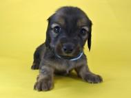 いちご & ジムの子犬 レッド 男の子