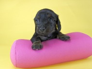 いちご & ジムの子犬 ブラックタン 女の子