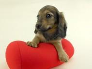 スター & ボンの子犬 イエロー(クリーム) 女の子(3) お写真初登場