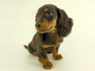 ルース & バロンの子犬 チョコタン 女の子 お写真初登場