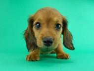 シエラ & たけるの子犬 レッド 女の子(1)