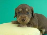 アンhb & オセロ君の子犬 チョコイエロー(チョコクリーム) 女の子 お写真初登場