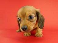 スワン & ジムダンディの子犬 レッド 男の子