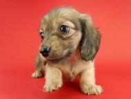 スワン & ジムダンディの子犬 イエロー(クリーム) 女の子
