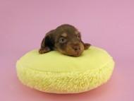 パセリ & ナイトの子犬 チョコイエロー(チョコクリーム) 男の子 お写真初登場