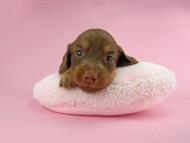 パセリ & ナイトの子犬 チョコイエロー(チョコクリーム) 女の子 お写真初登場