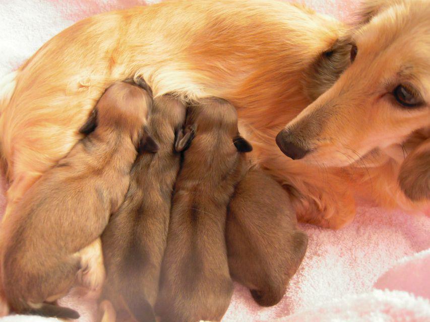 カニンヘンのマンドレが1月3日ダックスフンド子犬を出産しました。