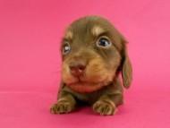 パセリ & ナイトの子犬 チョコイエロー(チョコクリーム) 男の子