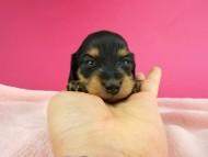 トマト & クッキーの子犬 ブラックイエロー(ブラッククリーム) 女の子 お写真初登場