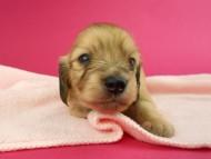 トマト & クッキーの子犬 イエロー(クリーム) 女の子 お写真初登場