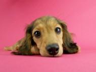 スター & ボンの子犬 イエロー(クリーム) 女の子(3)