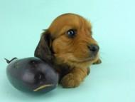 キュリ & 竹千代の子犬 レッド 女の子(3)