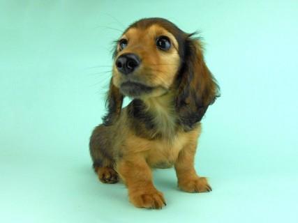 ダックスフンド オーロラ & たけるの子犬 レッド 男の子(2)