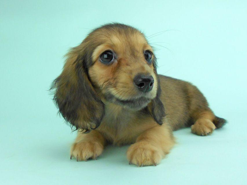 カニンヘンダックス オーロラ & たけるの子犬 イエロー(クリーム) 女の子