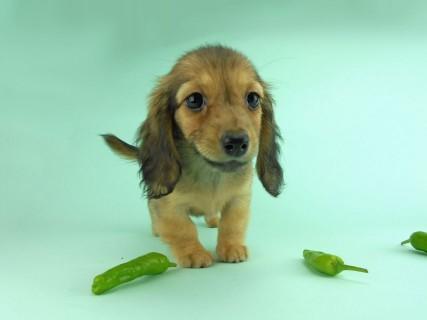 ダックスフンド オーロラ & たけるの子犬 イエロー 女の子