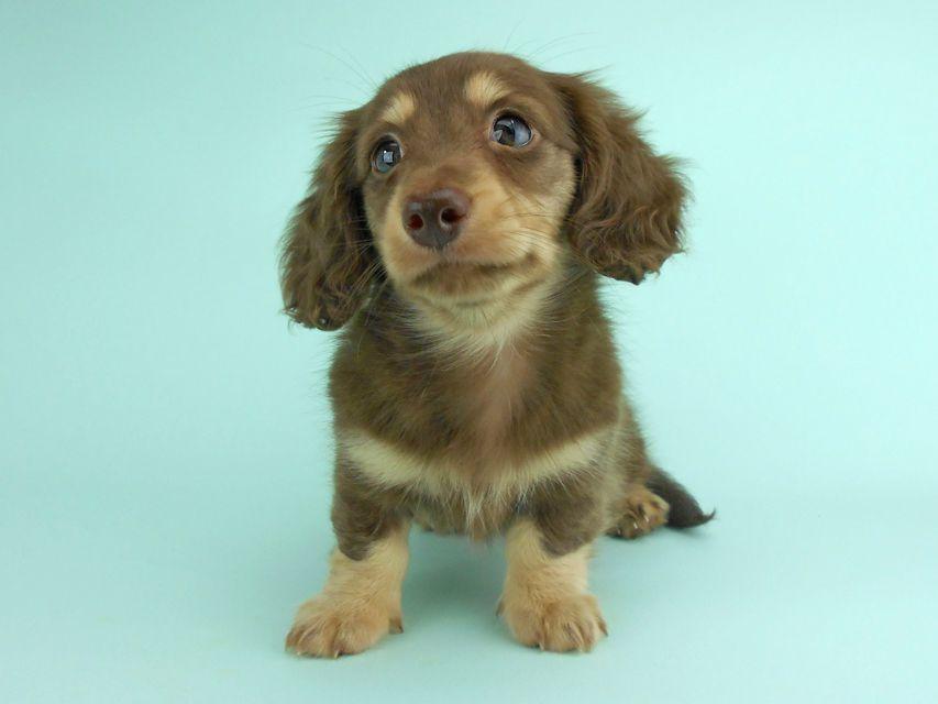 カニンヘンダックス アンhb & オセロ君の子犬 チョコイエロー(チョコクリーム) 女の子