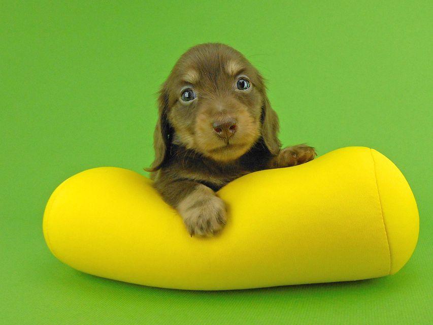 カニンヘンダックスフンド パセリ & ナイトの子犬 チョコイエロー(チョコクリーム) 男の子