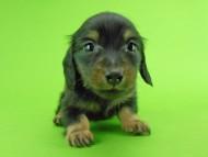 パセリ & ナイトの子犬 ブラックイエロー(ブラッククリーム) 男の子