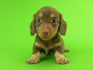 パセリ & ナイトの子犬 チョコイエロー(チョコクリーム) 女の子