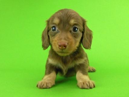 ダックスフンド パセリの子犬 チョコイエロー(チョコクリーム) 女の子