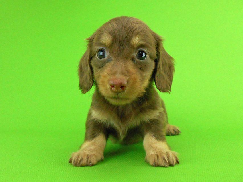 カニンヘンダックスフンド パセリ & ナイトの子犬 チョコイエロー(チョコクリーム) 女の子