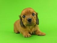 トマト & クッキーの子犬 レッド 男の子