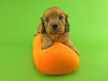 ダックスフンド トマト & クッキーの子犬 レッド 男の子