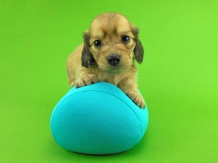 ダックスフンド トマト & クッキーの子犬 イエロー(クリーム) 男の子