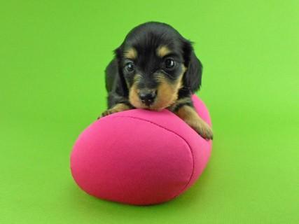 ダックスフンド トマト & クッキーの子犬 ブラックイエロー(ブラッククリーム) 女の子