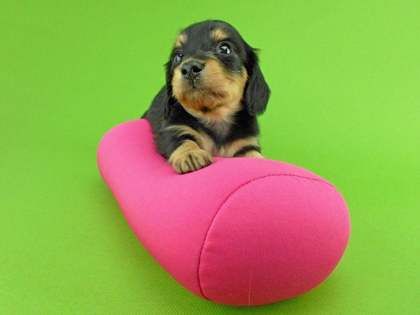 カニンヘンダックスフンド トマト & クッキーの子犬 ブラックイエロー(ブラッククリーム) 女の子