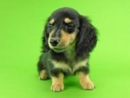 オーシャン & ナイトの子犬 ブラックイエロー(ブラッククリーム) 女の子