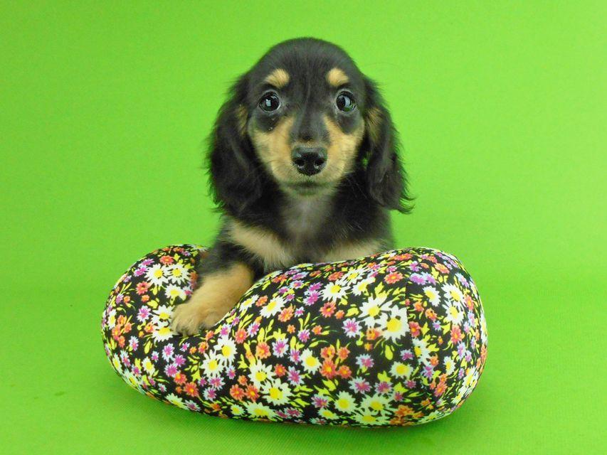 カニンヘンダックスフンド オーシャン & ナイトの子犬 ブラックイエロー(ブラッククリーム) 女の子
