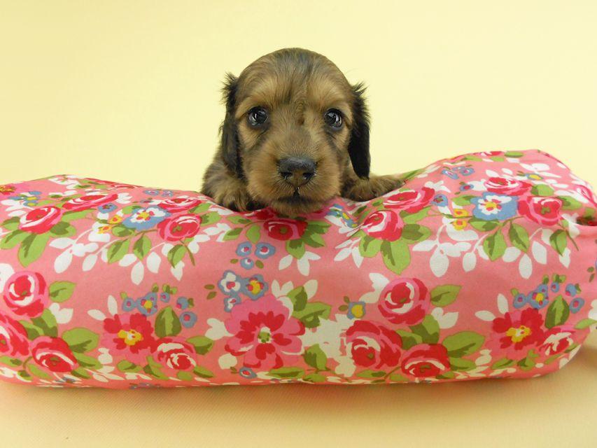 カニンヘンダックスフンド パン2 & オスカルの子犬 イエロー(クリーム) 女の子(1)