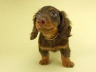 ベベ & ジャックの子犬 チョコタン 男の子① お写真初登場